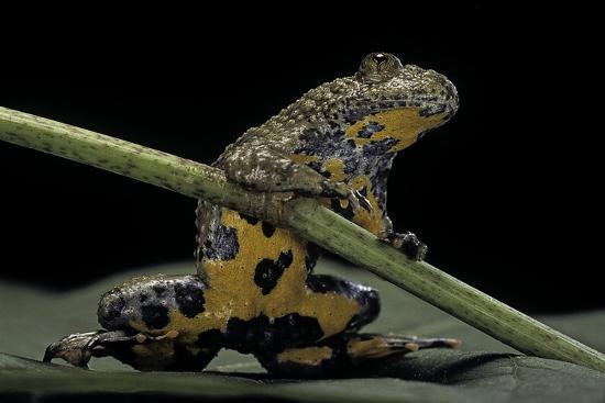 Bombina Variegata (Yellow-Bellied Toad)-Paul Starosta-Photographic Print
