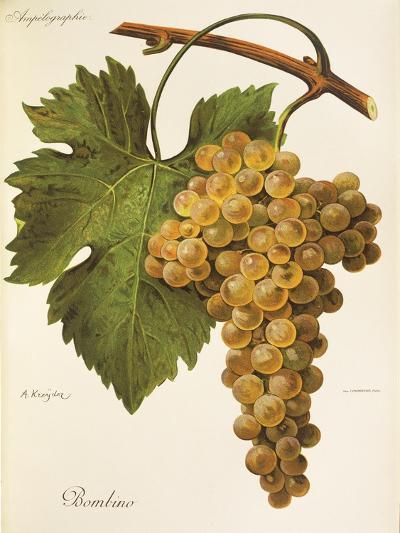 Bombino Grape-A. Kreyder-Giclee Print