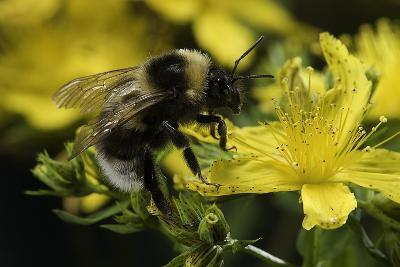 Bombus Hortorum (Small Garden Bumblebee)-Paul Starosta-Photographic Print