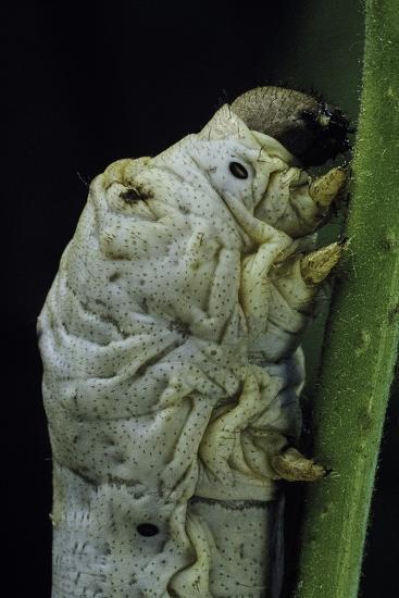 Bombyx Mori (Common Silkmoth) - Larva or Silkworm Detail-Paul Starosta-Photographic Print