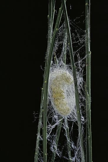 Bombyx Mori (Common Silkmoth) - Larva or Silkworm Spinning Cocoon-Paul Starosta-Photographic Print