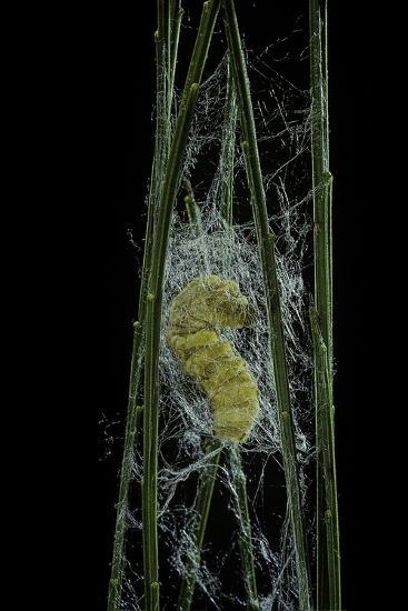Bombyx Mori (Common Silkmoth) - Larva or Silkworm Spinning Cocoon-Paul Starosta-Photographic Print
