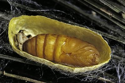 Bombyx Mori (Common Silkmoth) - Pupa inside the Cocoon-Paul Starosta-Photographic Print