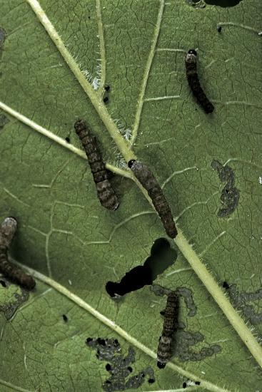 Bombyx Mori (Common Silkmoth) - Young Larvae or Silkworms Feeding on Mulberry Leaf-Paul Starosta-Photographic Print