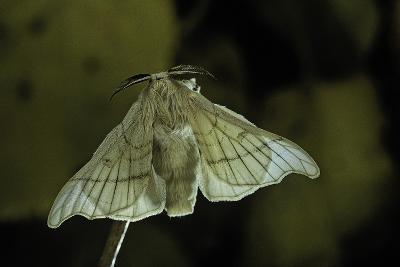 Bombyx Mori (Common Silkmoth)-Paul Starosta-Photographic Print