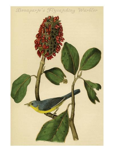 Bonaparte's Flycatching Warbler-John James Audubon-Art Print
