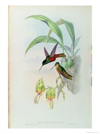 https://imgc.artprintimages.com/img/print/bonaparte-s-star-fronted-hummingbird_u-l-p55wr90.jpg?p=0