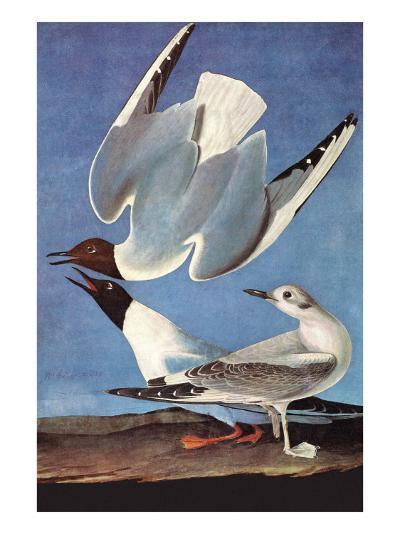Bonapartes Gull-John James Audubon-Art Print