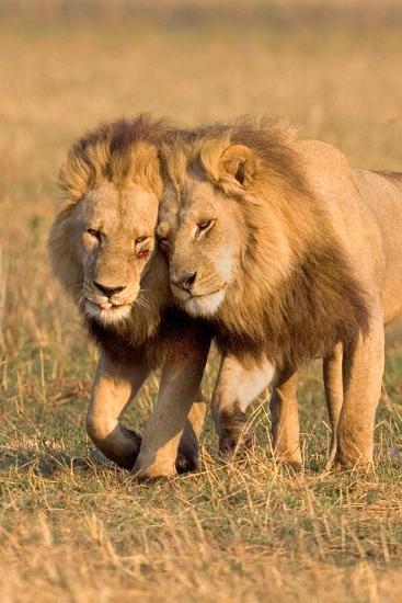 Bonding Lions-Howard Ruby-Photographic Print