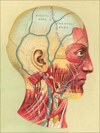 https://imgc.artprintimages.com/img/print/bones-and-muscles-of-the-head_u-l-f9429t0.jpg?p=0