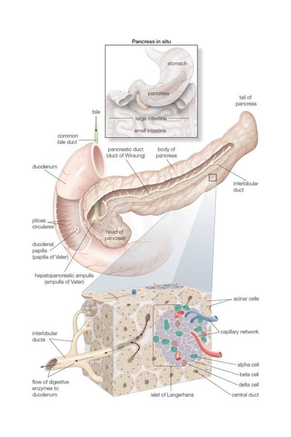 Bones of the Pelvic Girdle. Skeletal System, Human Anatomy Art Print ...