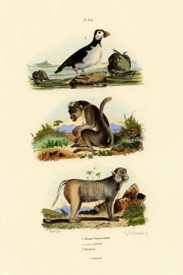 Bonnet Macaque, 1833-39--Giclee Print