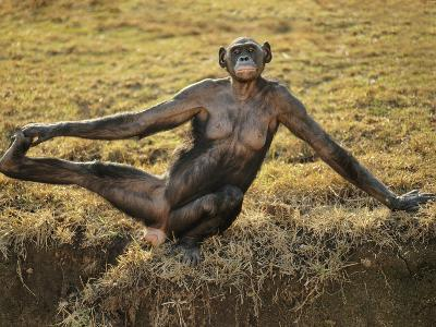 Bonobo Female Stretching, Pan Paniscus, Native to Congo (DRC)-Frans Lanting-Photographic Print