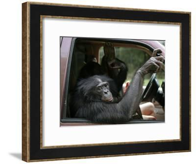 Bonobo Inside a Truck at a Language Research Center-Randy Olson-Framed Photographic Print