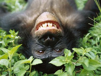 Bonobo or Pygmy Chimpanzee (Pan Paniscus) Smiling While Laying on Ground-Cyril Ruoso-Photographic Print