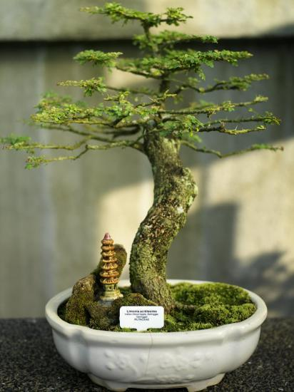 Bonsai Tree Inside of the Botanical Garden in Singapore-xPacifica-Photographic Print
