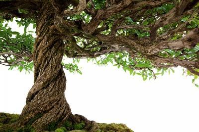 https://imgc.artprintimages.com/img/print/bonsai_u-l-pzqqm50.jpg?p=0