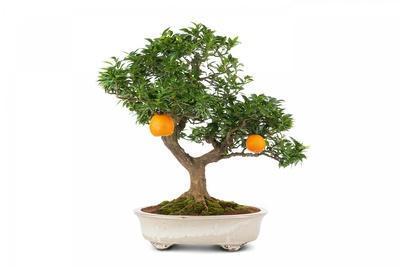 https://imgc.artprintimages.com/img/print/bonsai_u-l-pzqv740.jpg?p=0