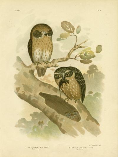Boobook Owl, 1891-Gracius Broinowski-Giclee Print