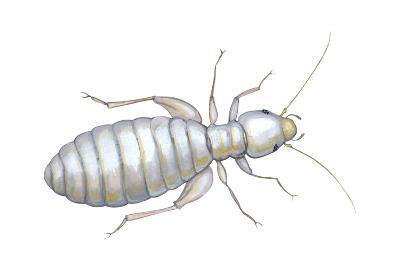 Book Louse (Liposcelis Divinatorius), Insects-Encyclopaedia Britannica-Art Print