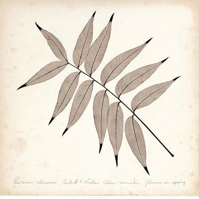 Pistacia Leaf