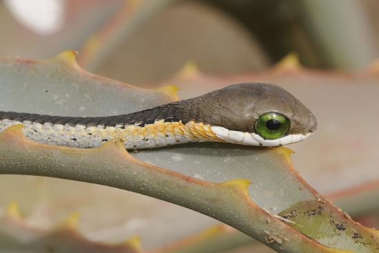 Boomslang (Dispholidus Typus) Neonate Snake On Aloe-Tony Phelps-Photographic Print