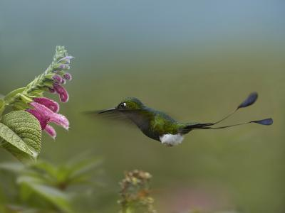 Booted Racket-Tail Hummingbird Flying to a Flower-Tim Fitzharris-Photographic Print