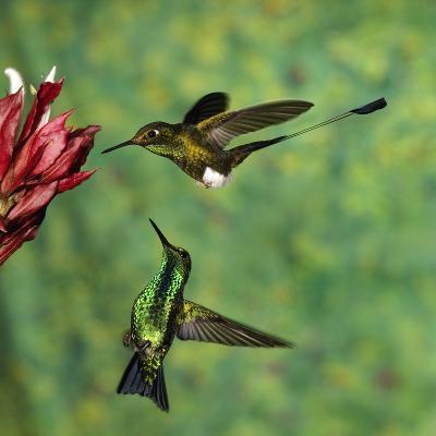 Booted Racket-Tail (OcreatusUnderwoodii), Western Emerald (ChlorostilbonMelanorhynchus) Hummingbird-Tom Vezo/Minden Pictures-Photographic Print