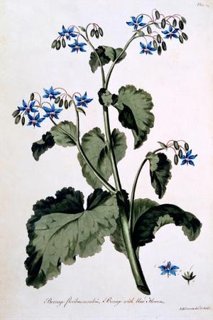 https://imgc.artprintimages.com/img/print/borage-with-blue-flowers-illustration-from-the-british-herbalist-march-1770_u-l-pmbezg0.jpg?p=0