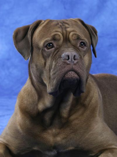 Bordeaux Dog-Petra Wegner-Photographic Print