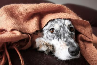 Border Collie / Australian Shepherd Dog under Blanket on Couch Looking Hopeful Lonely Sick Tired Bo-Lindsay Helms-Photographic Print