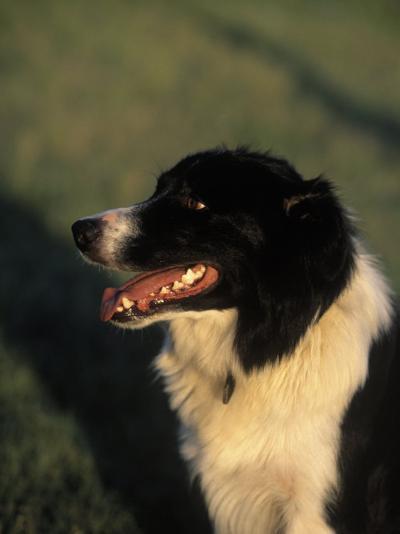 Border Collie Dog Outdoors-Peggy Koyle-Photographic Print