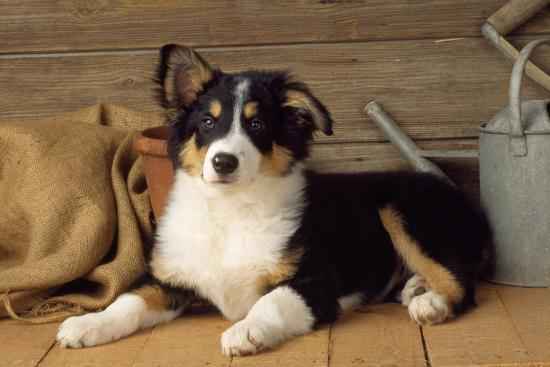 Border Collie Dog Puppy--Photographic Print