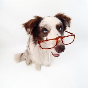 Border Collie Dog Wearing Glasses
