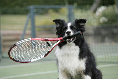 Border Collie Holding Tennis Racket--Photographic Print