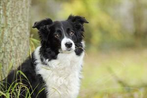 Border Collie in Front of Tree