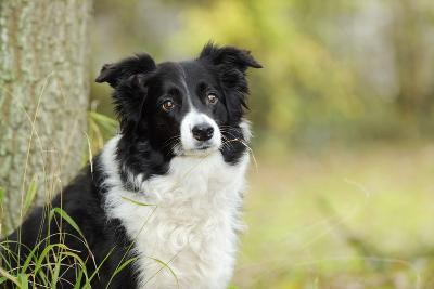 Border Collie in Front of Tree--Photographic Print