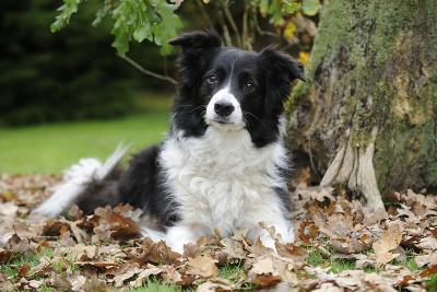 Border Collie in Leaves--Photographic Print
