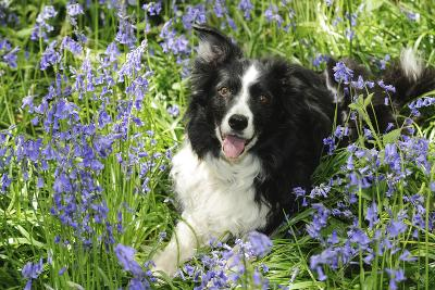 Border Collie Lying in Bluebells--Photographic Print