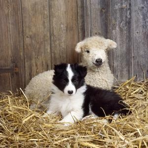 Border Collie Puppy with Lamb
