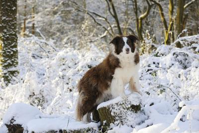 Border Collie Standing on Snow Covered Tree Stump--Photographic Print