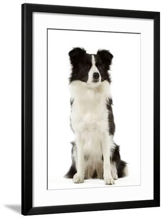 Border Collie--Framed Photographic Print