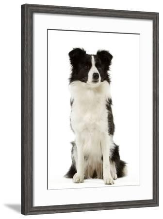 Border Collie--Framed Photographic Print