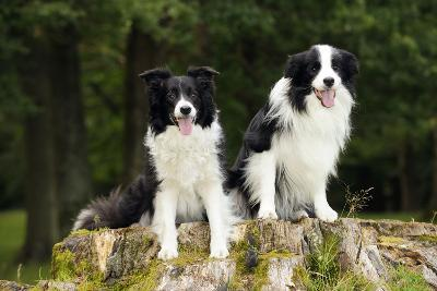 Border Collies Sitting on Tree Stump--Photographic Print
