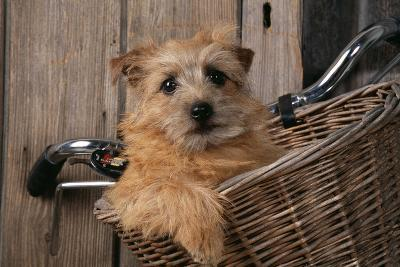Border Terrier in Bicycle Basket--Photographic Print