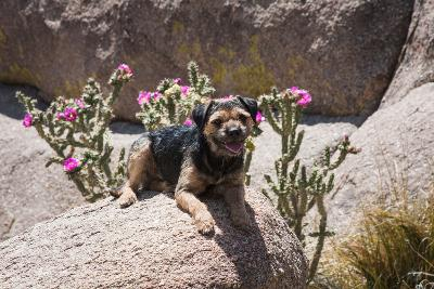 Border Terrier on Huge Boulders-Zandria Muench Beraldo-Photographic Print