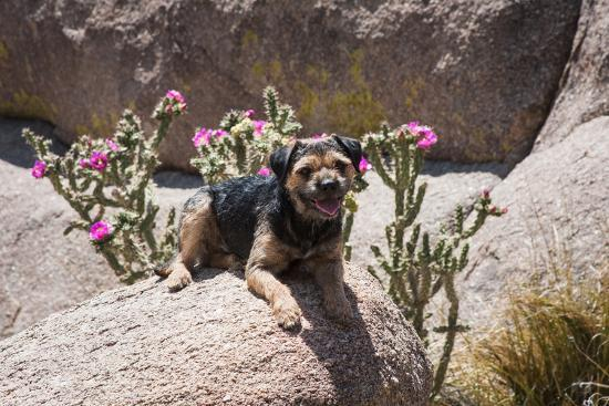 Border Terrier on Huge Boulders-Zandria Muench Beraldo-Photographic Print