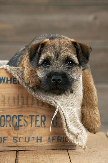 Border Terrier Puppy Sitting in a Box (13 Weeks Old)--Photographic Print