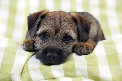 Border Terrier Puppy Sitting on a Blanket--Photographic Print
