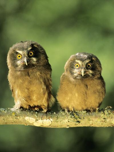 Boreal Owlets (Aegolius Funereus), Northern Alberta, Canada-Wayne Lynch-Photographic Print
